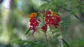 нектар : Royal Poinciana flower blows in the breeze WIDE 4K