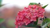 нектар : Pink spring flower bundle growing on bush 4K