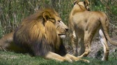 pacing : Lion relaxing in green grass next to lioness