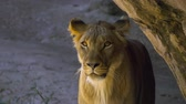 pacing : Young male lion emerges from behind rock and looks around