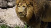 pacing : Adult male lion gets up and begins stalk