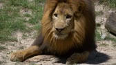 pacing : Adult male lion eating meat being tossed to him