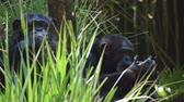 sosyal : Two chimpanzees passing time by picking and chewing Stok Video