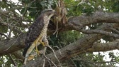Hawk Stands on One Leg in Tree Then Climbs Branch, 4K Stock Footage