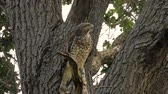 Red-Shouldered Hawk Shrieks from Tree Branch Before Flying Off Branch Stock Footage