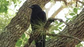 Crow Raven Blackbird Full-Body Perched in Tree, 4K Stock Footage