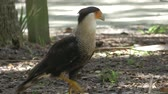 Crested Caracara Walks on the Ground Looking for Food, 4K
