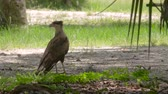 Female Crested Caracara on the Ground Looking Around, 4K