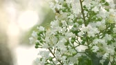 нектар : White Crepe Myrtle Flowers Bloom on Beautiful Day, 4K