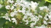 нектар : Closeup of White Crepe Myrtle Blossoms Стоковые видеозаписи