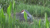 Sandhill Crane Chick Appears from Under Moms Wing, 4K