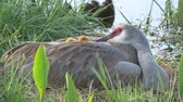 Two Baby Sandhill Cranes Hide Under Moms Wing in Nest, 4K