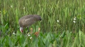 Sandhill Crane Builds Nest with Newborn Chicks Nearby, 4K