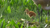 Sandhill Crane Chick Watches Sibling as Mother Rebuilds Nest, 4K