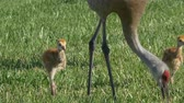 Sandhill Crane Chicks Follow Mom Through Grass, 4K