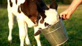düve : Calf drinking cows milk from bucket. Young calf on dairy farm Stok Video