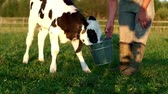 obora : Calf drinking cows milk from bucket. Farmer feeding calf with milk from bucket Wideo