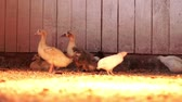 bıldırcın : Ducks and quail in farm barn on poultry farming. Breeding domestic birds