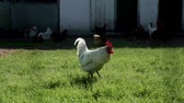 fowl : Rooster walking on rural yard. Cock and chicken walking in poultry farm