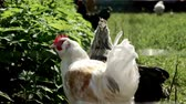 fowl : Chickens on farmyard in summer day. Chicken farming. Livestock farming