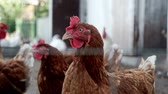 петух : Chickens looking at camera on livestock farm. Poultry farming. Bird farm