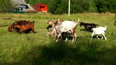 cattle breeding : Goats herd walking on green meadow at cattle farm. Goat and goatling on farm