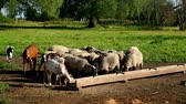 mutton : Herd of sheep and ram eating food from feed trough on pasture at animal farm