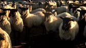 mutton : Herd of sheep standing on pasture at livestock farm. Flock sheep and ram at farm