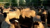 ovelha : Herd of sheep and ram standing on paddock at livestock farm. Breeding cattle