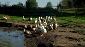 palmado : Flock of geese walking along pond in bird farm. Flock of goose on poultry farm
