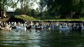 lawn : Flock of geese floating in water pond in bird farm. Water bird in livestock farm