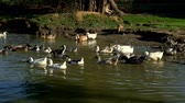 palmado : Flock of goose and ducks entering in water pond on poultry farm. Waterfowl birds Vídeos