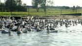 palmado : Landscape flock of ducks and geese floating in water pond in bird farm
