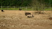 piglets : Pigs walking on dirt on livestock farm. Pigs on farm. Pig farming. Livestock