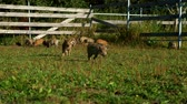 piglets : Pigs eating green grass on field at rural farm. Pig farming. Livestock farm