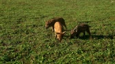 boar : Pigs eating green grass on field at livestock farming. Pig farming.