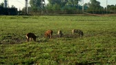 piglets : Pigs eating green grass on field at livestock farming. Cute piglet at farm