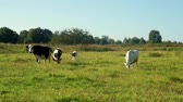 úbere : Cows grazing on green meadow milk farm. Milking cows on livestock farming