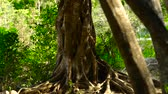 twisted : Twisted roots tropical tree in green forest close up. Tall tree in jungle with twisted roots. Vertical panorama roots and trunk tree in rainforest.