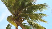 swaying : Green palm tree with ripe coconut on clear sky background. Coconut palm treess waving on sea wind on summer beach. Stock Footage