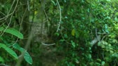 liána : Green thickets of tropical trees in wild forest. Green foliage and branches of tropical plants and trees in rainforest point of view. Dostupné videozáznamy