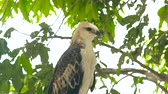 ostrý : Hawk bird of prey snake eagle on green tree branch close up. Predatory bird in wild nature. Ornithology, birdwatching, zoology concept.