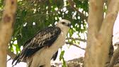находящихся под угрозой исчезновения : Close up hawk bird of prey snake eagle on green tree branch. Predatory bird in wild nature. Ornithology, birdwatching, zoology concept. Стоковые видеозаписи