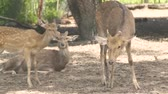 fawn : Spotted fallow deer in animal park close up. Family sika deer. Wild forest animal in nature reserve.