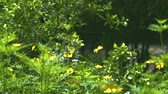 mariposa : Butterfly collecting nectar on yellow flowers in flowering summer garden. Butterfly pollinating blooming flowers in summer meadow.