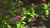 borboleta : Butterfly pollinating blooming flowers in summer garden. Butterfly collecting nectar summer flowers in flowering meadow. Stock Footage