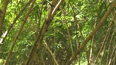 bamboo forest : Green bamboo stem and foliage in grove of tropical forest. Close up leaves and trunk of green bamboo tree in rainforest.