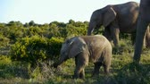 addo : mother elephant and baby
