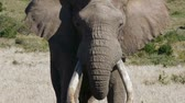 addo : mock charge from male elephant Stock Footage