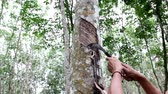 сок : Worker tapping latex from a rubber tree, Thailand.